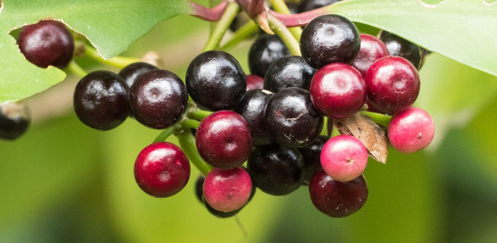 aggressive eye cancer found to be slowed down by a substance from Coralberry plant