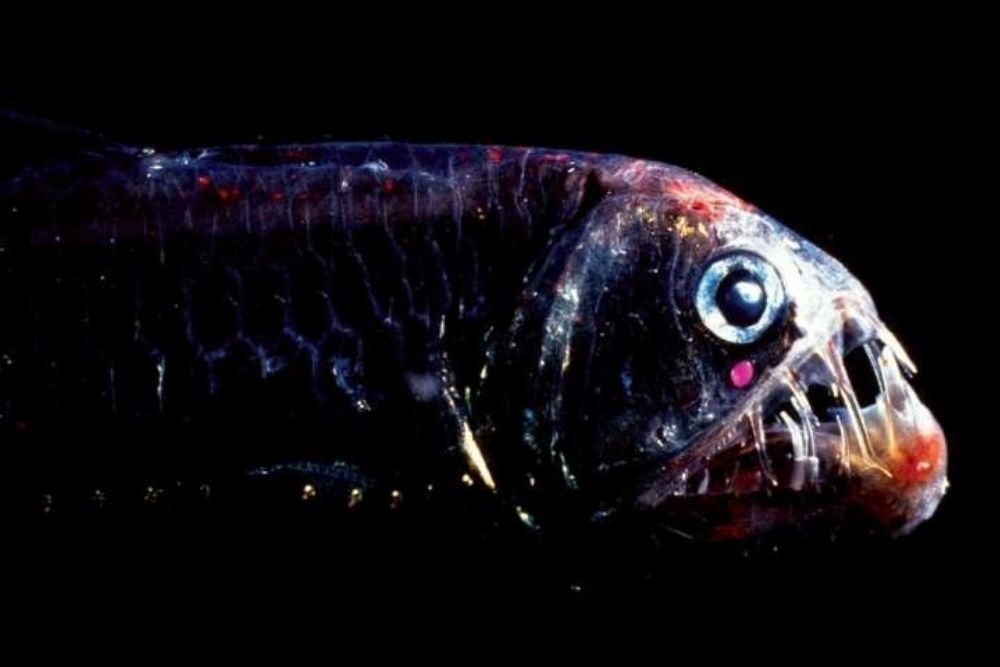 Deep-Sea Fishes Can See Colors in the Dark 2