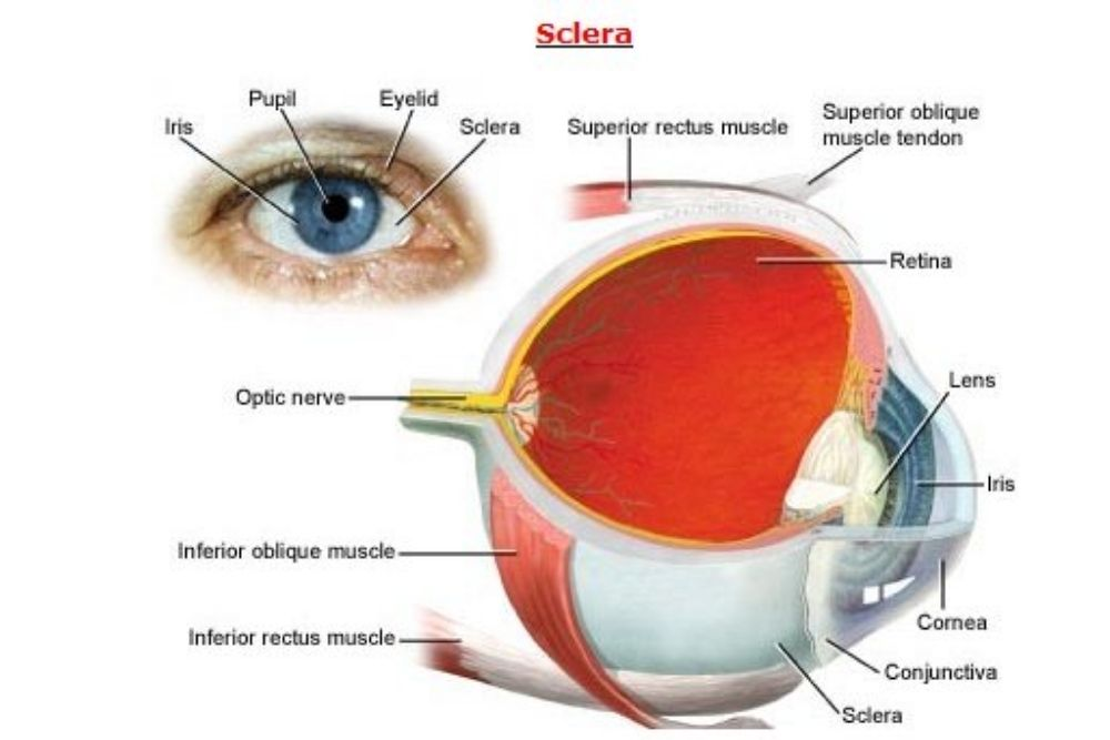 sclera