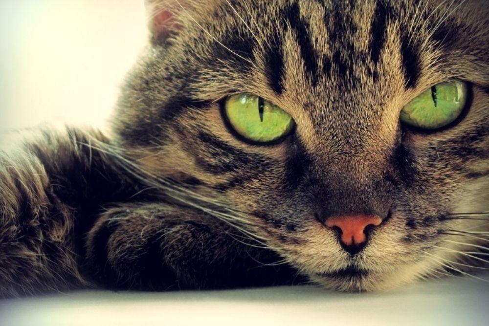 fierce looking cat